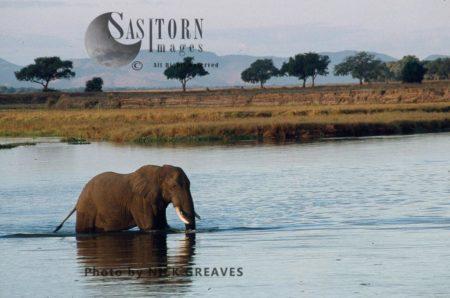 African Elephant Wadding In Water, Loxodonta Africana, Mana Pools National Park, Zimbabwe