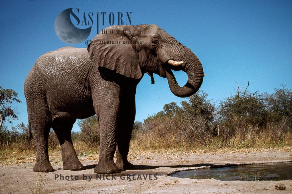 African Elephant (Loxodonta africana), drinking at Pan, Hwange National Park, Zimbabwe