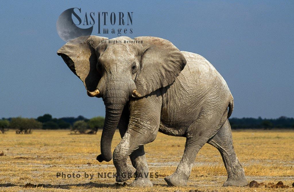 African Elephant (Loxodonta Africana),  Nxai Pans National Park Botswana
