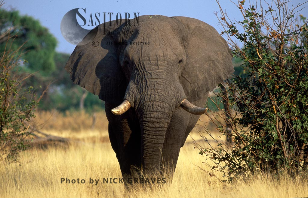 African Elephant (Loxodonta Africana), A Big Bull Elephant, Hwange National Park, Zimbabwe