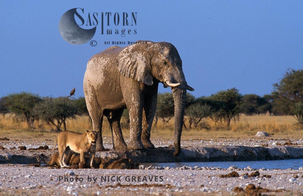 African Elephant  Loxodonta africanaand Lioness (Panthera leo) at waterhole,  Nxai Pans National Park, Botswana