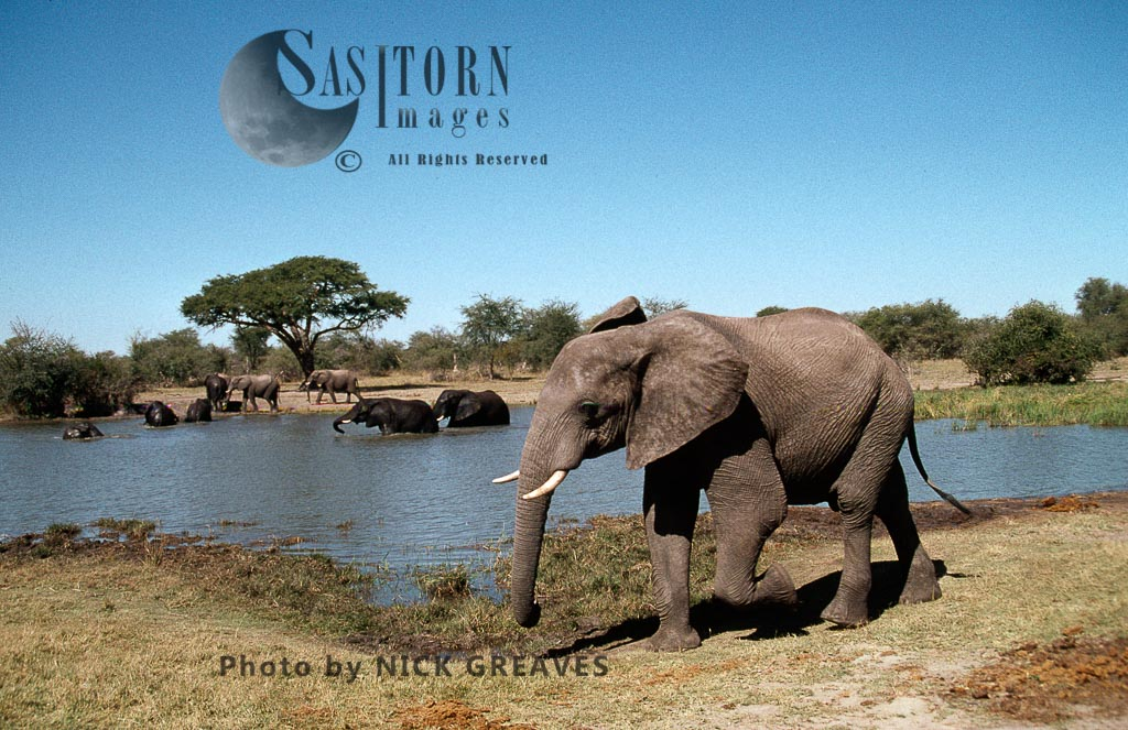 African Elephant (Loxodonta africana), with herd at Pan, Hwange National Park, Zimbabwe