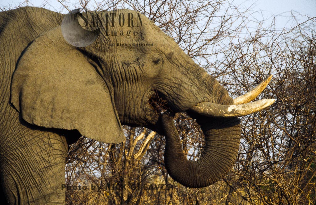 African Elephant (Loxodonta africana), bull feeding on thorns, Hwange National Park, Zimbabwe