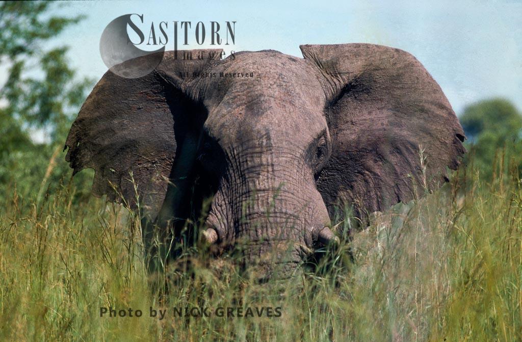 African Elephant (Loxodonta africana), A big bull Elephant wanders through the luxuriant vegetation, Hwange National Park Zimbabwe