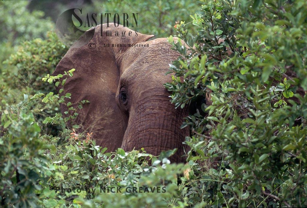 African Elephant (Loxodonta africana), Bull in Baphia Shrub, close up head, Zambezi National Park, Zimbabwe, close-up