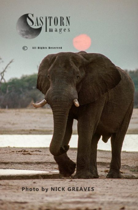 African Elephant (Loxodonta Africana), A Bull At Sunset, Katavi National Park, Tanzania