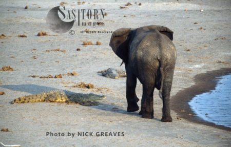 Arican Elephant (Loxodonta Africana) And Crocodile, Hwange National Park, Zimbabwe