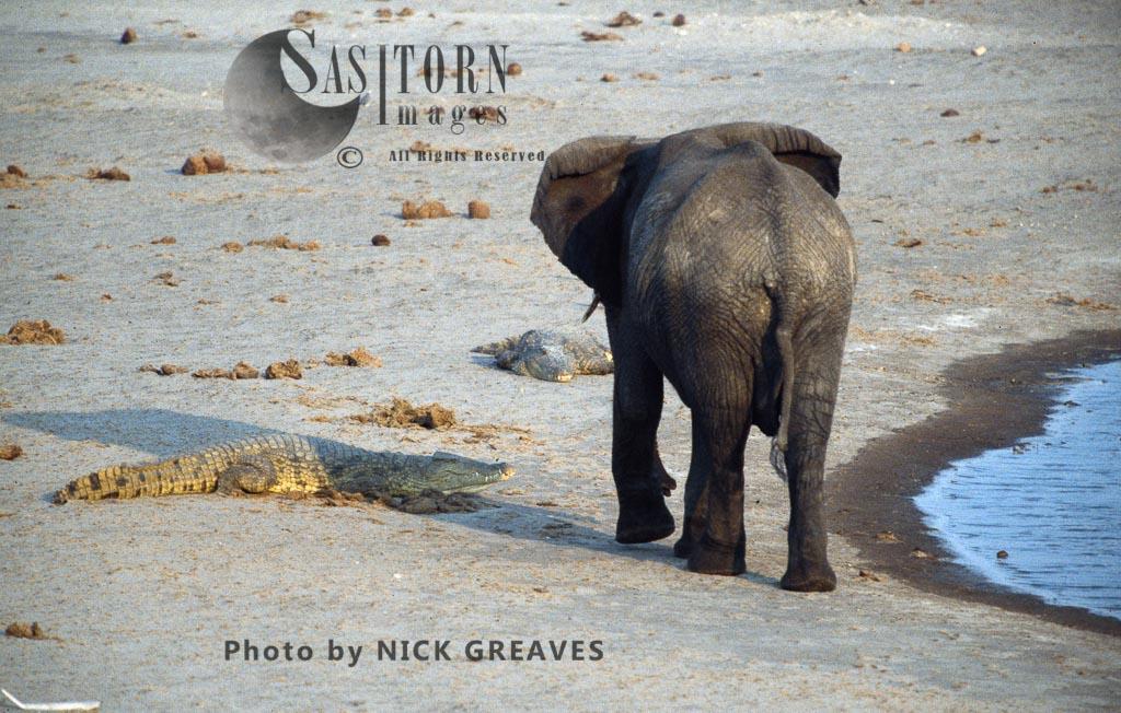 Arican Elephant (Loxodonta africana) and Crocodile, Hwange National Park, Zimbabwe