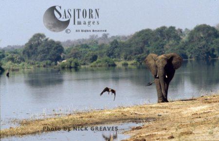 African Elephant (Loxodonta Africana), Elphant And Tawny Eagle, Chobe National Park, Botswana, Waterhole, Water Pan