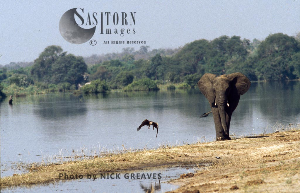 African Elephant (Loxodonta africana), Elphant and Tawny Eagle, Chobe National Park, Botswana, waterhole, water pan