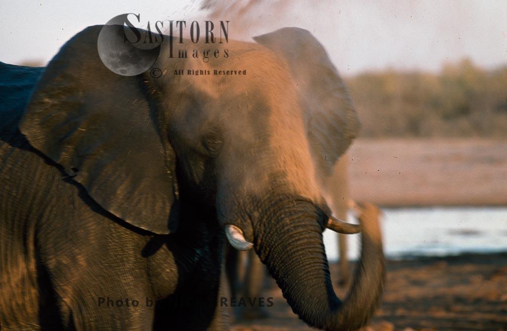 African Elephant (Loxodonta africana), dusting, Hwange National Park, Zimbabwe