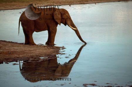 African Elephant (Loxodonta Africana), Drinking With Reflection, Hwange National Park, Zimbabwe