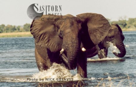 African Elephant (Loxodonta Africana), Bull Mock Charge In River, Chobe National Park, Botswana