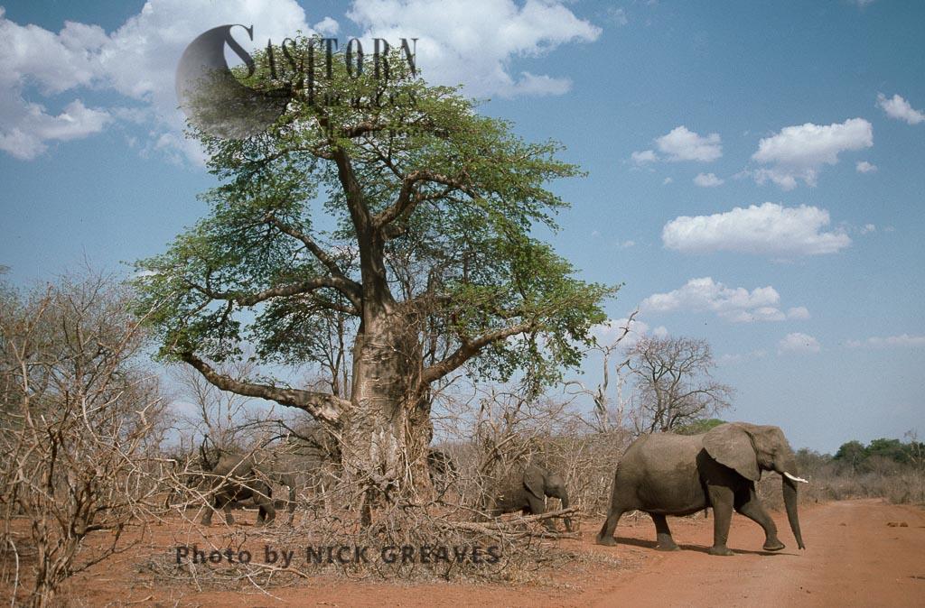 African Elephant breed herd and Baobab tree, Loxodonta africana, Zambezi National Park, Zimbabwe