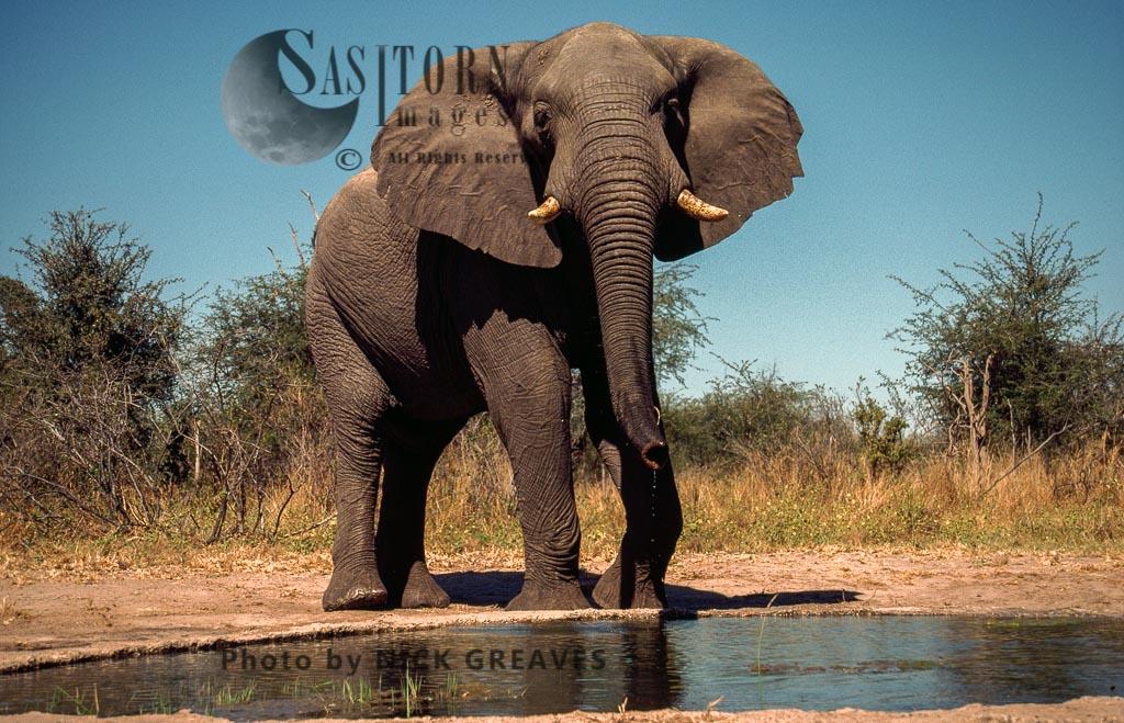 African Elephant (Loxodonta africana), Elephant Bull at Water Pan, Hwange Safari Lodge, Zimbabwe, waterhole