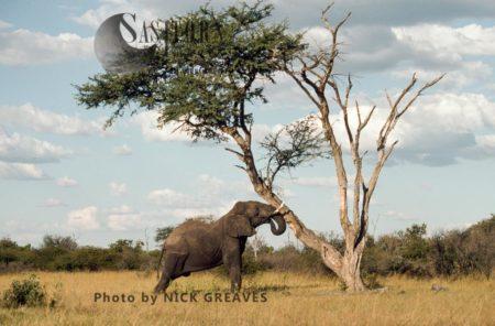 African Elephant (Loxodonta Africana), Shaking Camelthorn For Pods, Hwange National Park, Zimbabwe