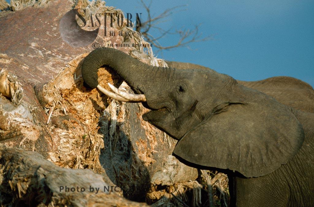 African Elephant (Loxodonta africana), feeding on Baobab, Zambezi National Park, Zimbabwe