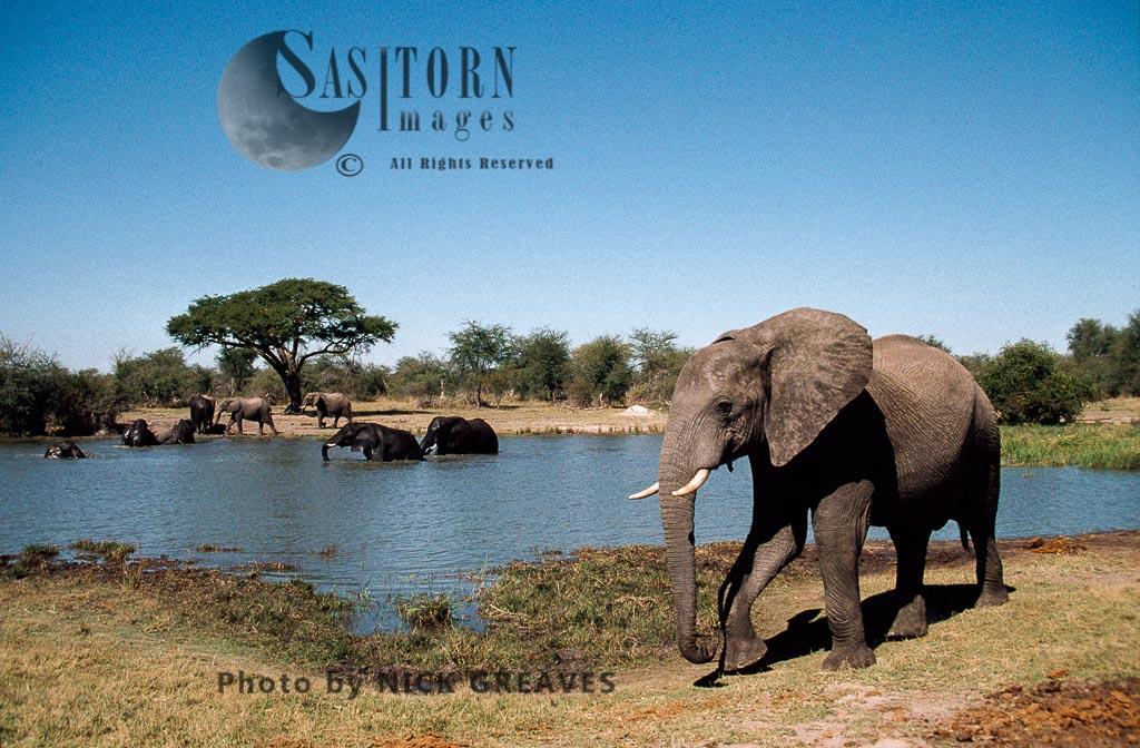 African Elephant (Loxodonta africana), herd at Pan, Hwange National Park, Zimbabwe