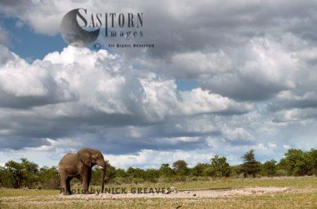 African Elephant (Loxodonta Africana), Bull, Lone Elephant On Hwange National Park, Zimbabwe
