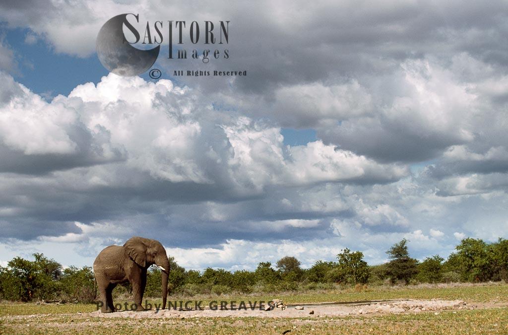 African Elephant (Loxodonta Africana), Bull, Hwange National Park, Zimbabwe