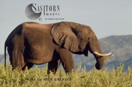 African Elephant (Loxodonta Africana), Bull, Matusadona National Park, Zimbabwe