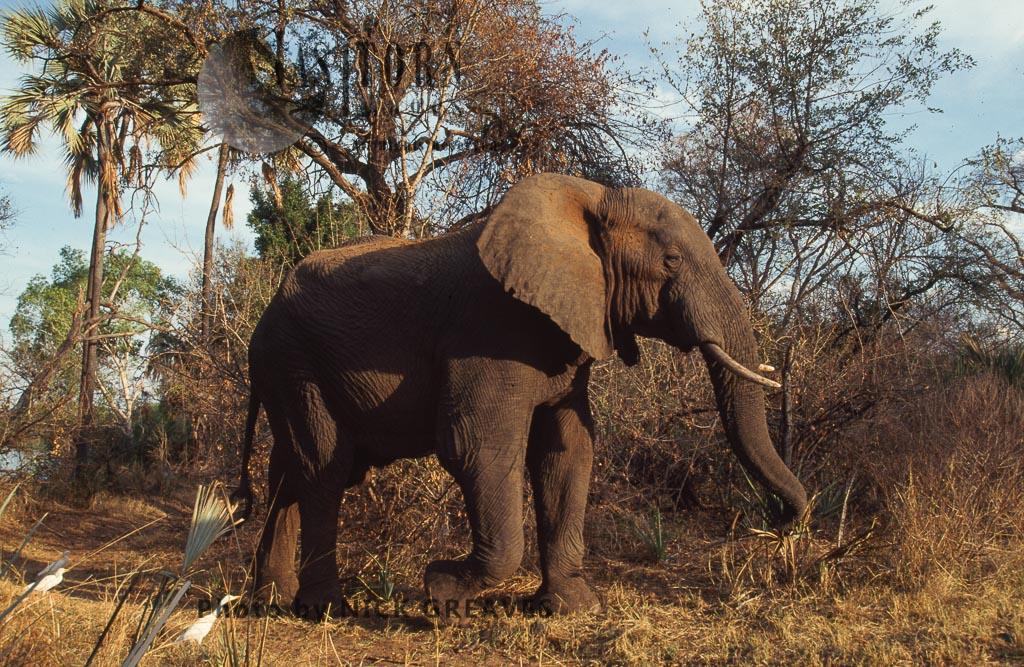 African Elephant (Loxodonta africana), Bull, Zambezi National Park, Zimbabwe