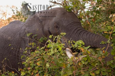 African Elephant, Mature Elephant Bull Browses On The Thick Vegetation That Lines The Banks Of The Rufiji River.