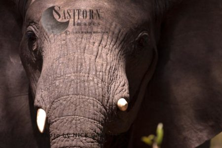African Elephant (Loxodonta Africana), A Young Bull Elephant Stands Head On In A Threatening Posture With Ears Out And Head Held Up. The Strong Emmission From His Temporal Gland Is An Indicator Of His Distress