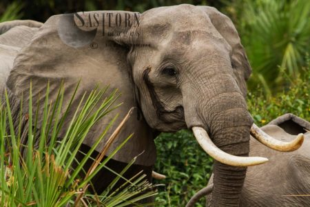 African Elephant (Loxodonta Africana), The Temporal Gland Can Often Be Seen, As With This Matriarch, And Is Often A Sign Of Excitment. With Elephants This Can Be From Social Interaction, Breeding Condition Or Stress