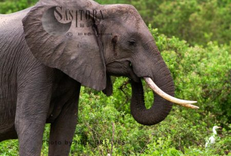 African Elephant, A Cow Feeding, Shows Temporal Gland Weeps