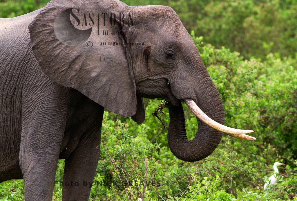 African Elephant (Loxodonta africana), cow browsing, Selous Game Reserve, Tanzania