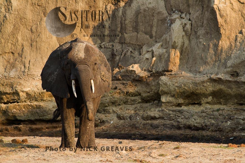 African Elephant (Loxodonta africana), drinking from seep, Katavi National Park, Tanzania