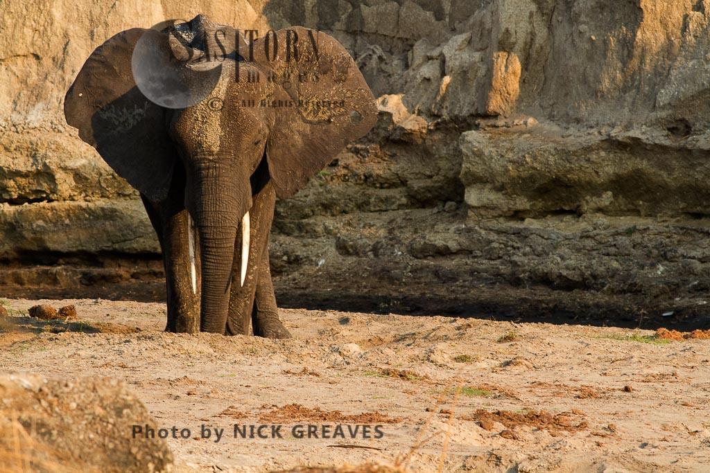 African Elephant (Loxodonta africana), digging for water, Katavi National Park, Tanzania