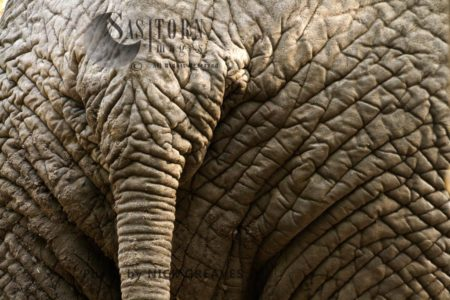 African Elephant (Loxodonta Africana), The Hide Of An Elephant Is Thick For Protection And Wrinkly To Help Retain Cooling Moisture. Recent Research Has Also Shown How The Skin Retains Heat That Can Be Shed At Nightime