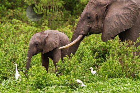 Elehant Cow And Calf (Loxodonta Africana)