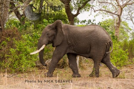 African Elephant (Loxodonta Africana), Katavi National Park In The Remote Far West Of Tanzania Did Not Escape The Poaching Surge In Recent Years And Many Of The Parks Big Tuskers Fell To The Illegal Trade To China