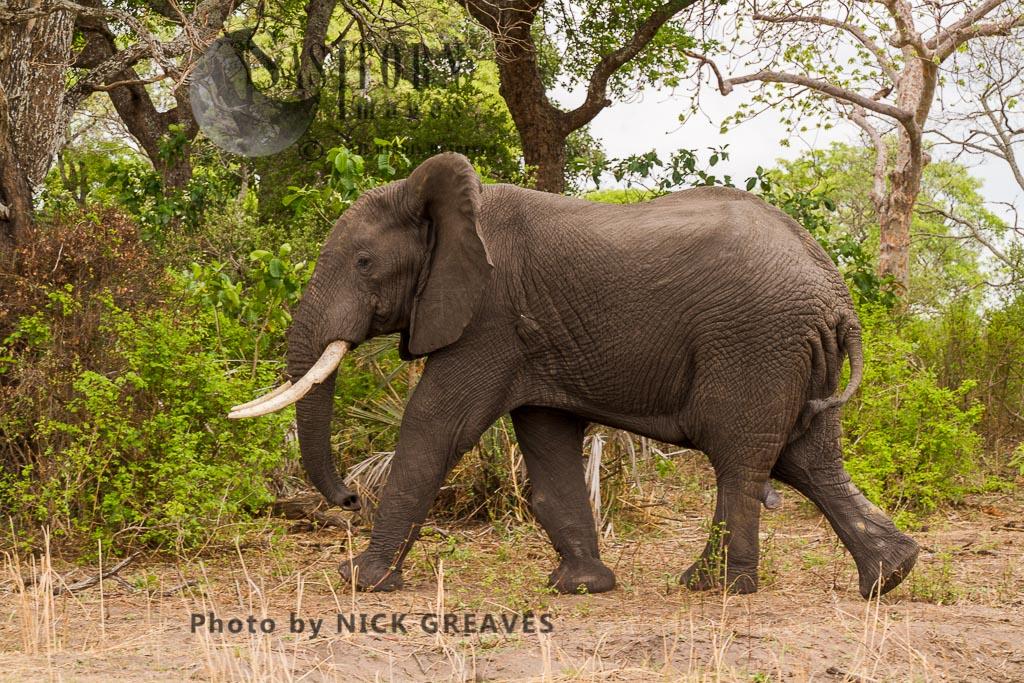 African Elephant (Loxodonta africana), mature Elephant bull, Katavi National Park, Tanzania