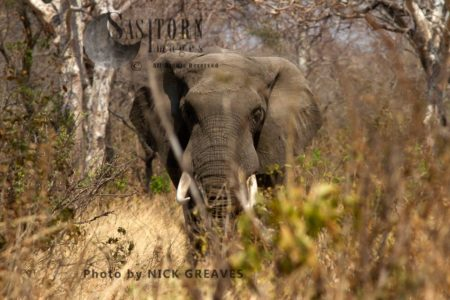 African Elephant (Loxodonta Africana), A Mature Elephant Bull Stides Through The Thick Combretum Scrub On The Way To A Waterhole Following Ancient Traditional Game-trails He Would Have Learnt From His Mothers Breed-herd