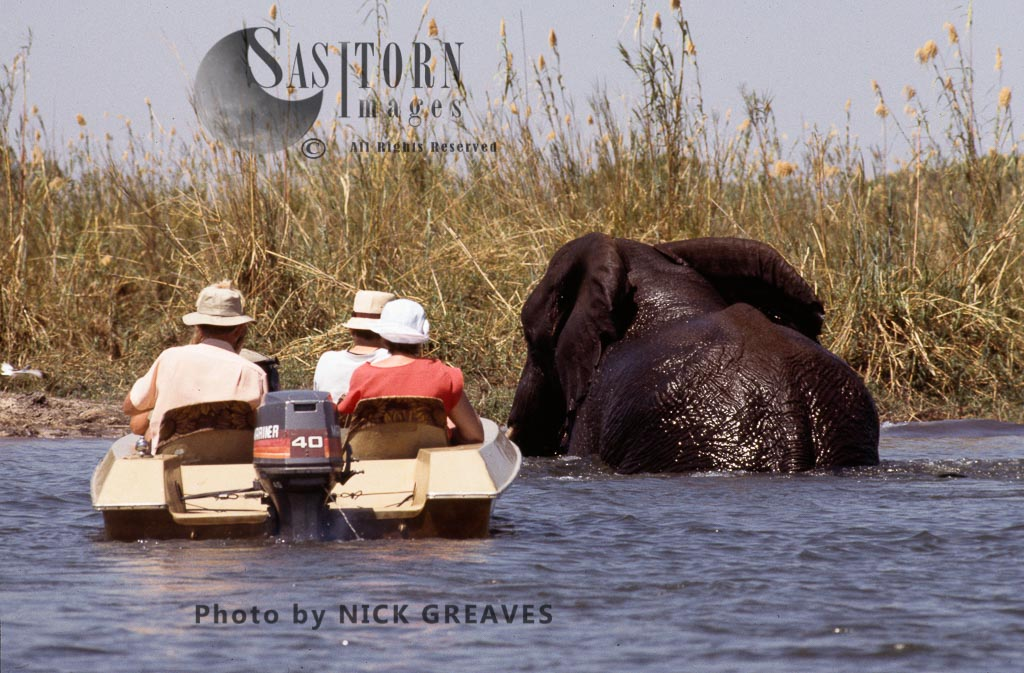 African Elephant (Loxodonta africana) Imababala safari Camp, Matetsi Safari Area,  Zimbabwe