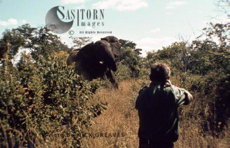 African Elephant (Loxodonta Africana), Culling, Hwange National Park, Zimbabwe, Killing