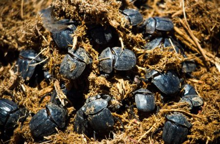 Common Dung Beetles On African Elephant Dung, Pachylomera Femoralis, Hwange National Park, Zimbabwe