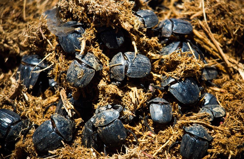 Common dung beetles on African Elephant dung, Pachylomera femoralis, Hwange National Park, Zimbabwe