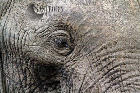 African Elephant (Loxodonta Africana) Eyelashes