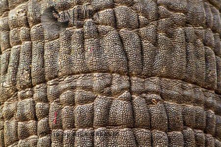 African Elephant (Loxodonta Africana) Texture