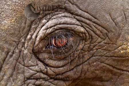African Elephant (Loxodonta Africana) Eyeball
