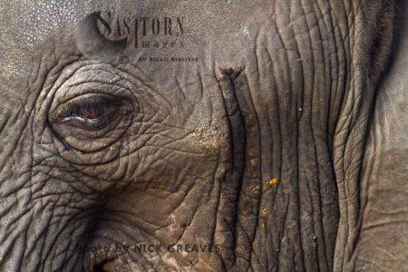 African Elephant (Loxodonta Africana) Temporal Gland