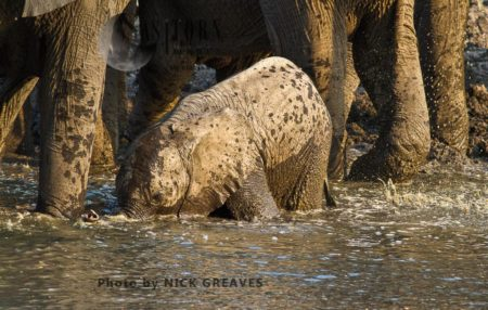 African Elephant (Loxodonta Africana) Calf Drinking