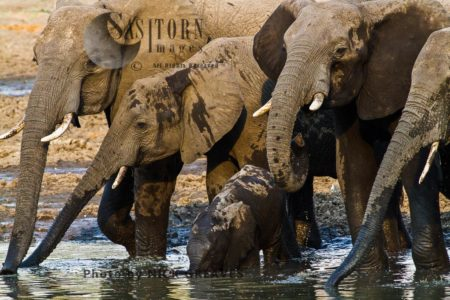 African Elephant (Loxodonta Africana), Breed Herd Drinking