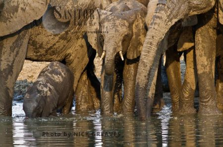 Elephant Breed Herd Drinking (Loxodonta Africana)