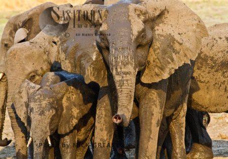 African Elephant (Loxodonta Africana) Tuskless Matriarch